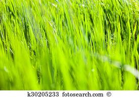 Graminaceous plant Stock Photo Images. 578 graminaceous plant.