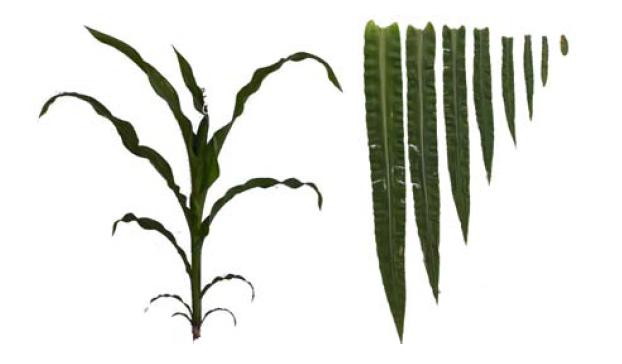 Christophe Pradal » Virtual Plants.
