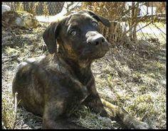 Spanish Mastiff / Mastín Español Leonés #Dogs #Puppy.