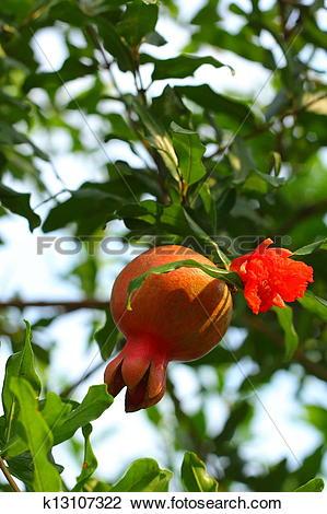 Clip Art of Punica granatum fruit k13107322.