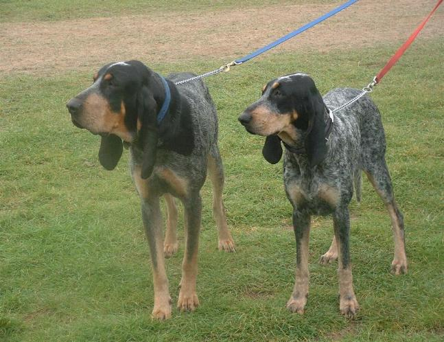 Grand Bleu de Gascogne #Hunting #Dogs #Puppy.