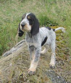 French Griffon Bleu de Gascogne Scenthound Dog.