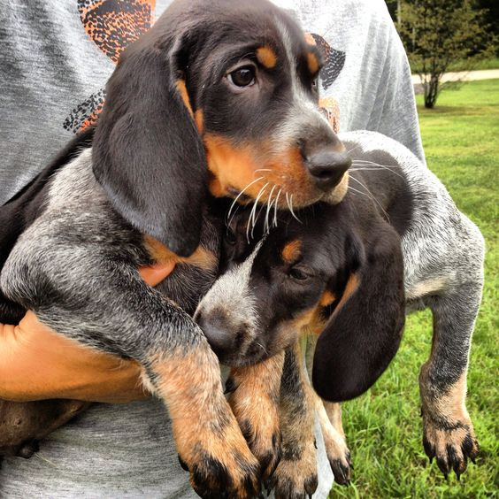 Bluetick Coonhound Dog / Grand Bleu de Gascogne #Hounds #Dogs.