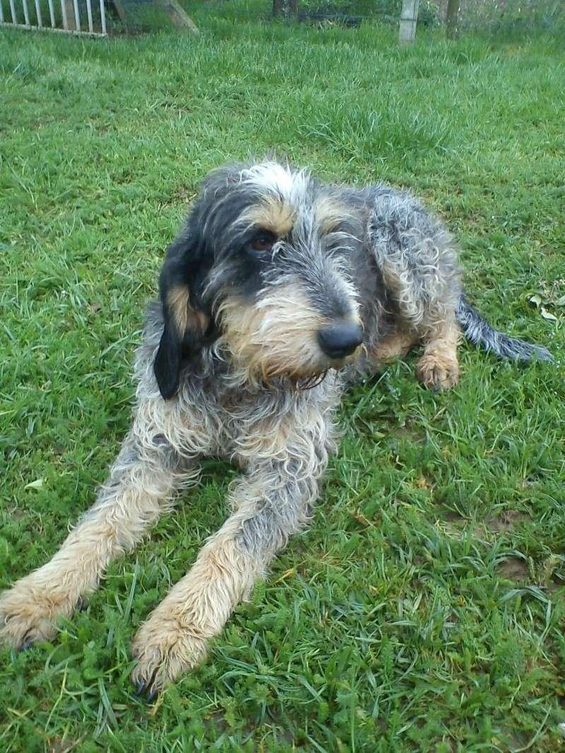 Griffon Bleu De Gascogne Dog.