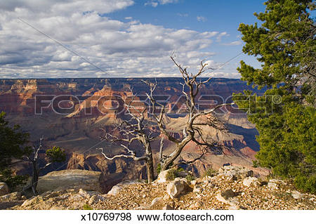 Pictures of USA, Arizona, Grand Canyon National Park, dead tree on.