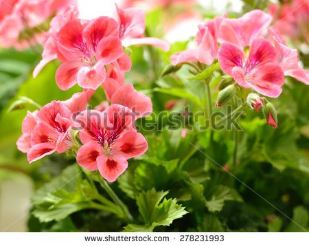 Royal Pelargonium Stock Photos, Royalty.