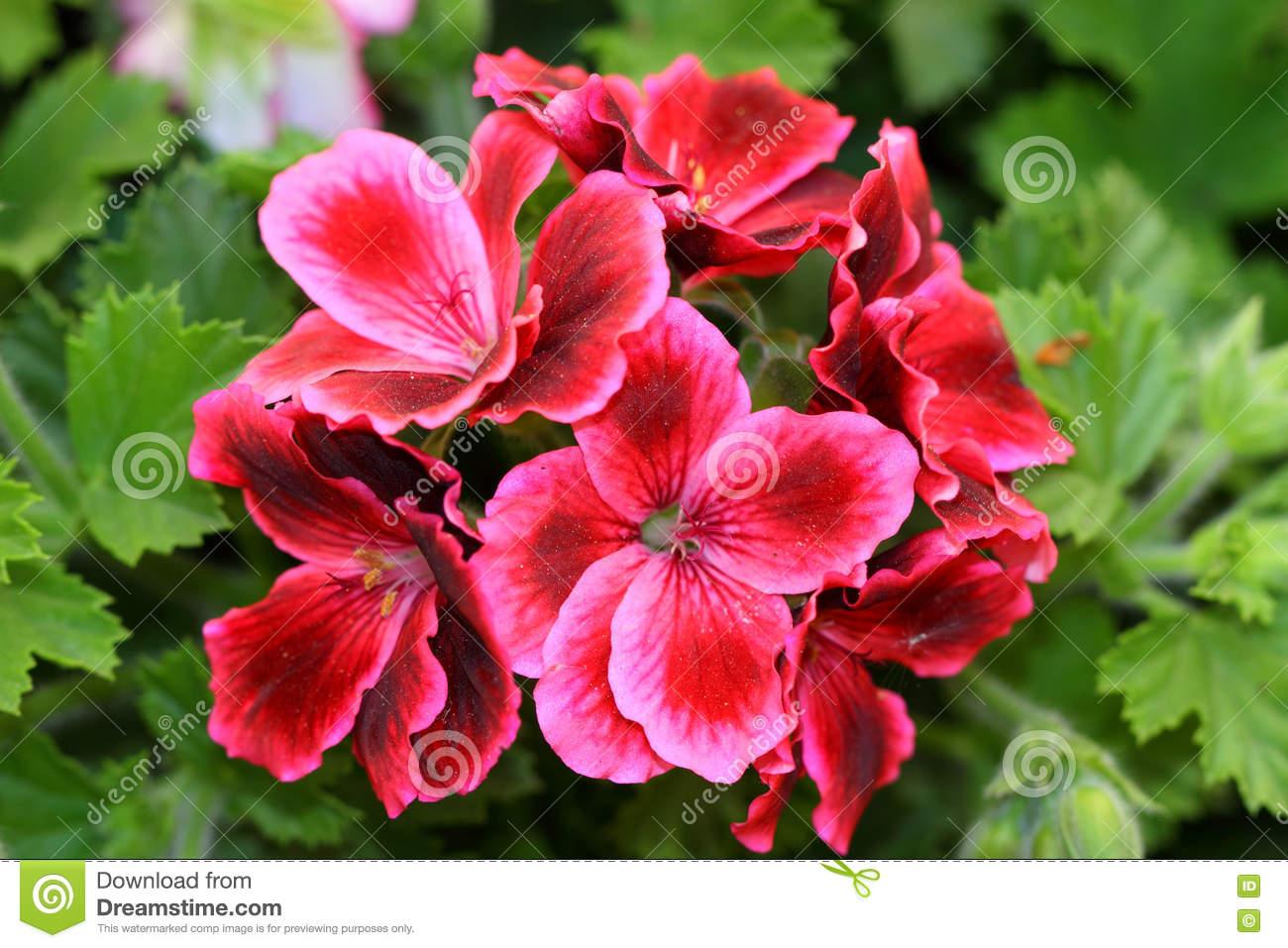 Pelargonium Grandiflorum Or French Geranium Flowers Stock Photo.