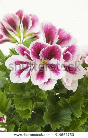 Pink Flower Primrose Stock Photo 33652462.