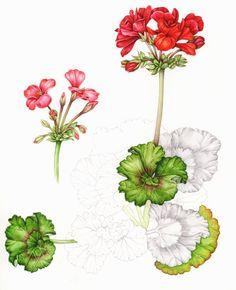 SCARLET GERANIUMS. 1887 Scarlet Geranium Antique Botanical by.