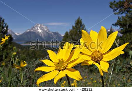 Yellow Flowers With The Grand Tetons In The Background. Photo.