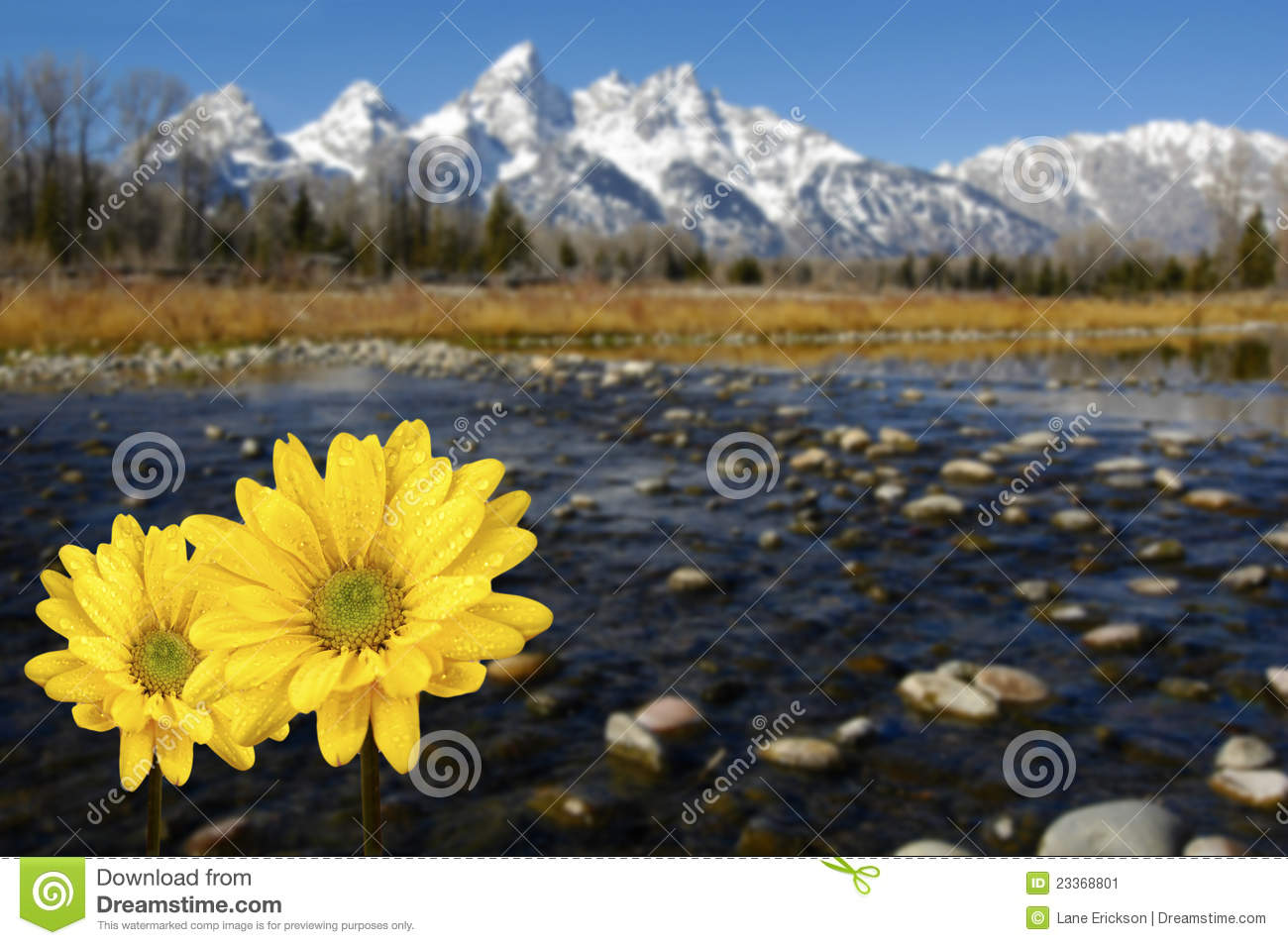 Grand Tetons In Spring With Yellow Flowers Stock Image.