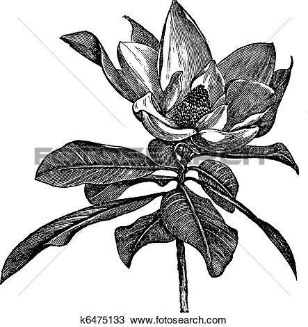 Clipart of Southern magnolia or Magnolia grandiflora vintage.
