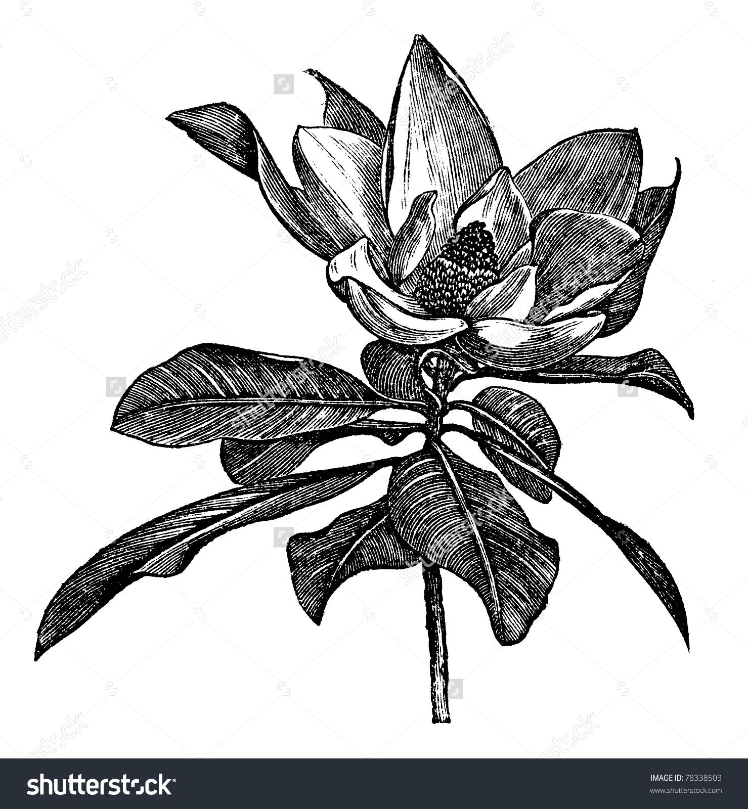 Southern Magnolia Magnolia Grandiflora Bull Bay Stock Vector.