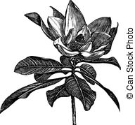 Grandiflora Vector Clipart Illustrations. 9 Grandiflora clip art.