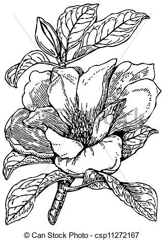 Clip Art Vector of Plant Magnolia grandiflora (Bull bay.