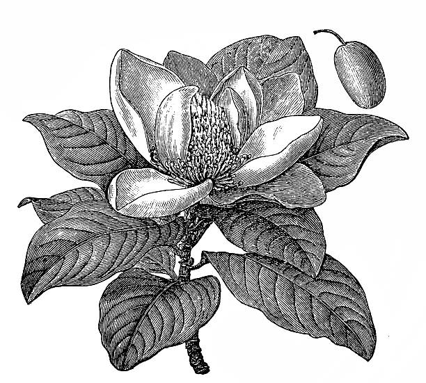 Antique Illustration Of Magnolia Grandiflora Southern Magnolia Or.