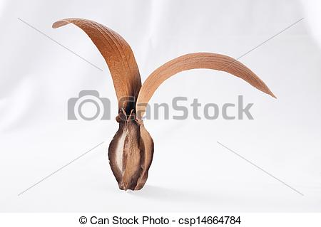 Pictures of Dipterocarpus grandiflorus.