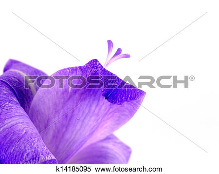 Stock Image of Purple Gladiolus flowers on white background.
