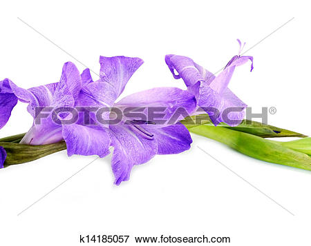 Picture of Purple Gladiolus flowers on white background.