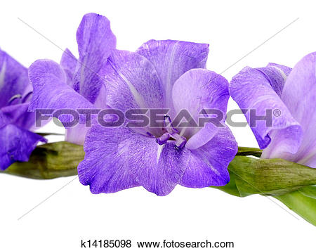 Pictures of Purple Gladiolus flowers on white background.