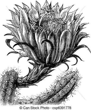 Vector of Nightblooming Cereus or Queen of the Night or Large.