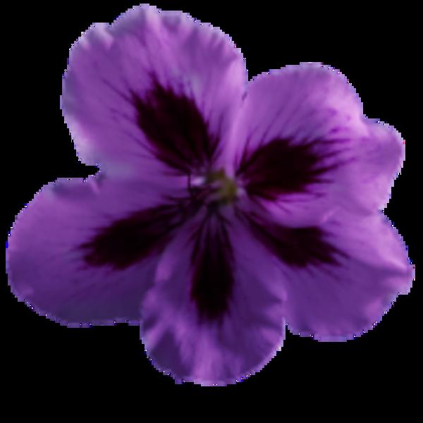 Flower Geranium Purple.