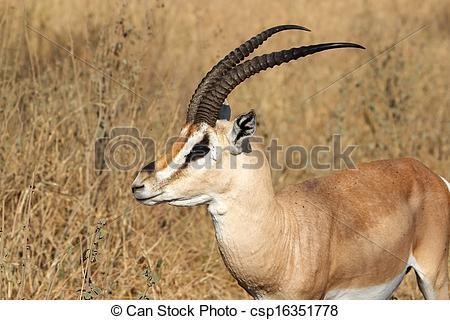 Picture of Grant's Gazelle (Gazella granti) in the african savanna.