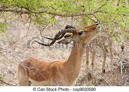 Stock Photography of Grant's gazelle eating leaves from an acacia.