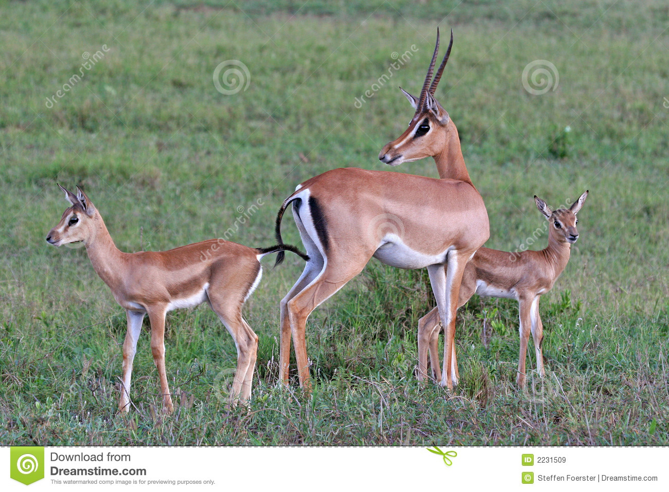 Grant Gazelle Family Royalty Free Stock Images.