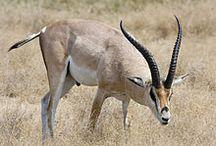 Grant's gazelle.