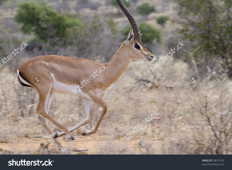 Male Grant'S Gazelle (Nanger Granti) Running In Tsavo National.