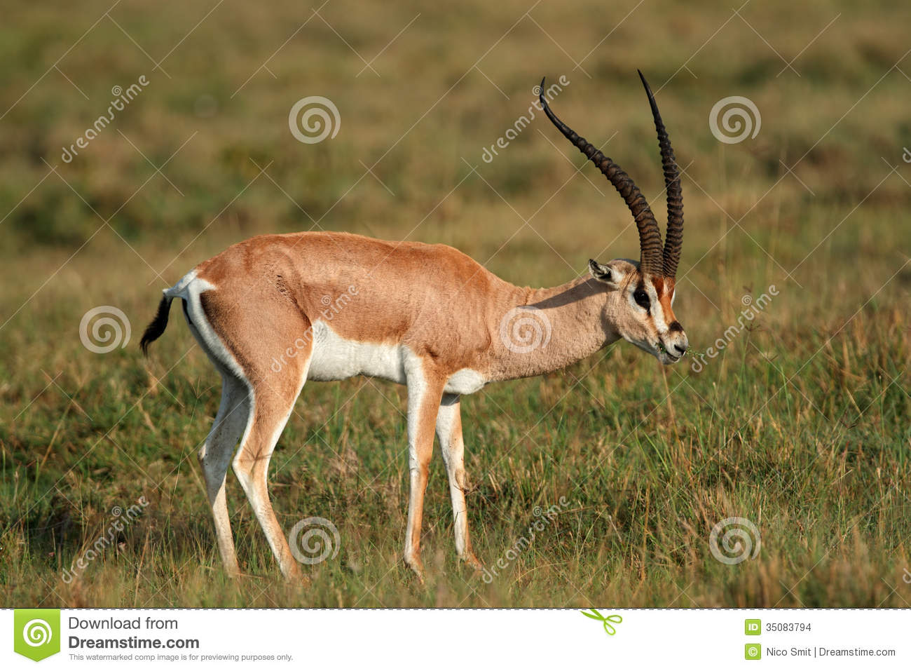 Grant's Gazelle Stock Images.