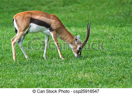 Stock Photo of Grant's gazelle eating grass in open zoo.