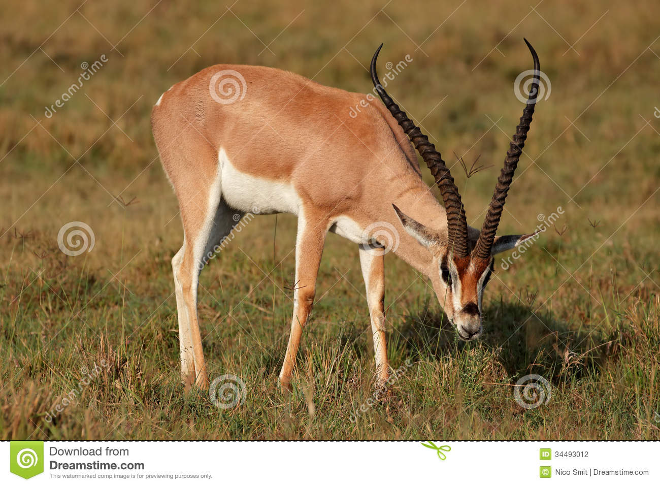 Grant's Gazelle Stock Photography.