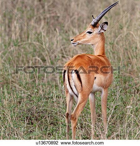 Stock Photo of action, Central, Tarangire, Tanzania, Grant's.