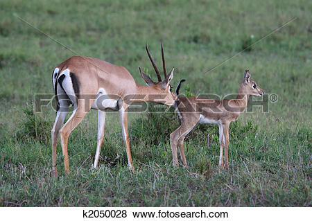 Pictures of grant gazelle mother and fawn k2050028.