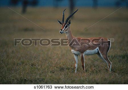 Stock Photo of Grant's gazelle (Gazelle granti), side view, Masai.
