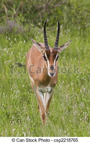Stock Images of grants gazelle in kenya.