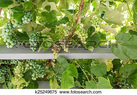 Stock Image of Grape Arbor from Below k25249675.