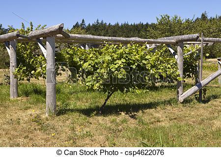 Stock Image of Grapevine On Wood Trellis.