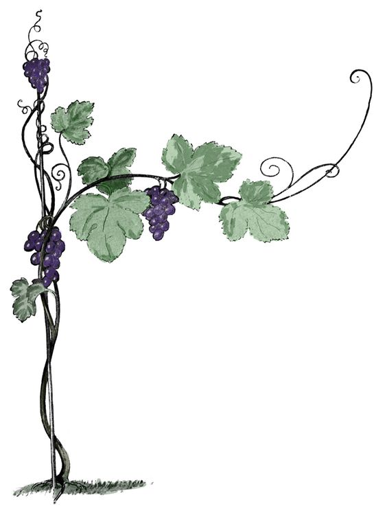Grapes vine branches clipart transparent background.