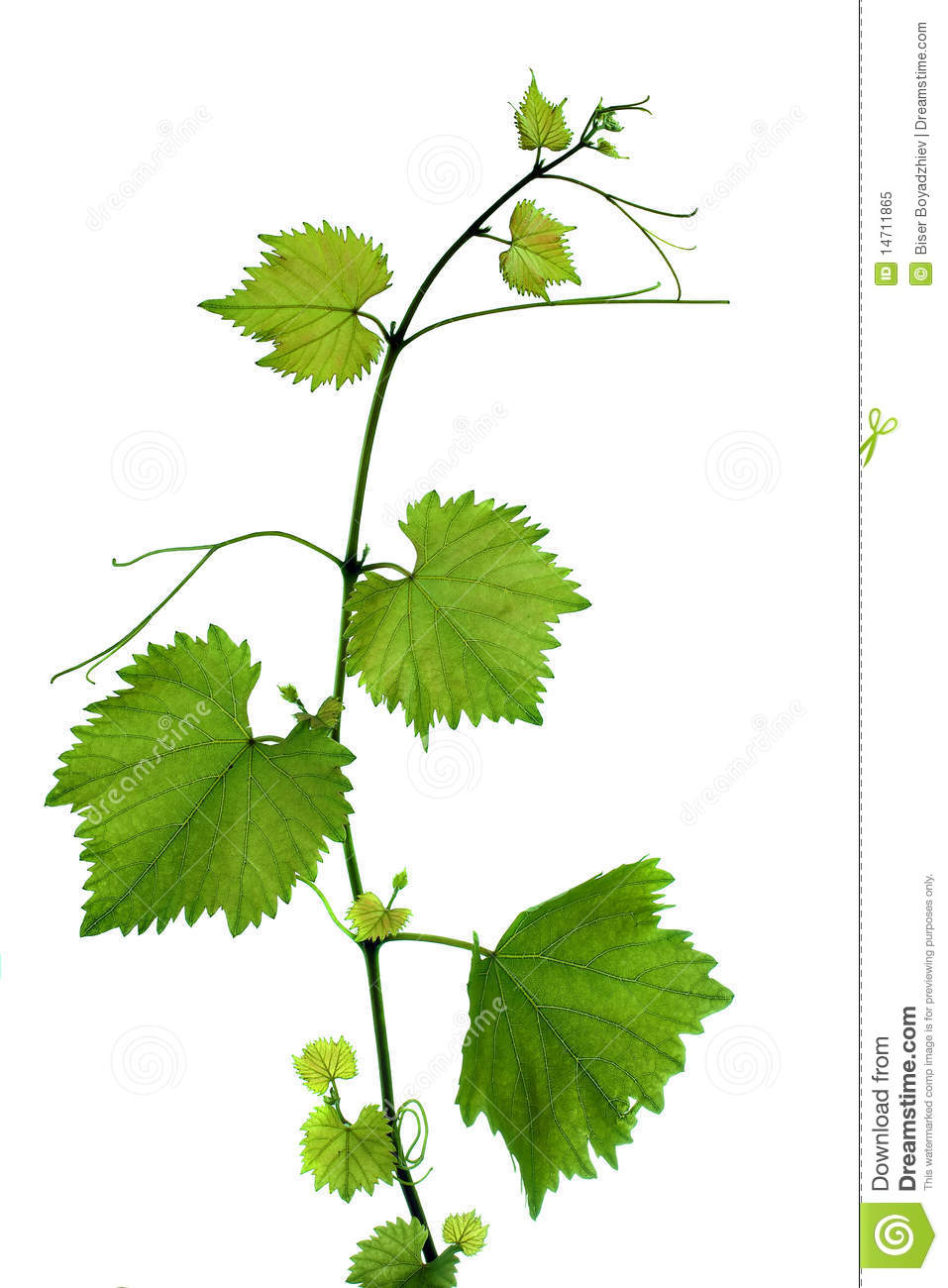 Branch With Grape Leaves Royalty Free Stock Photo.
