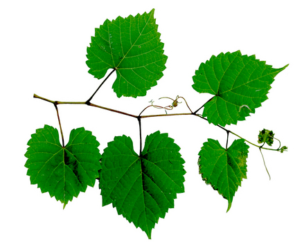 Pictures Of Grape Leaves.