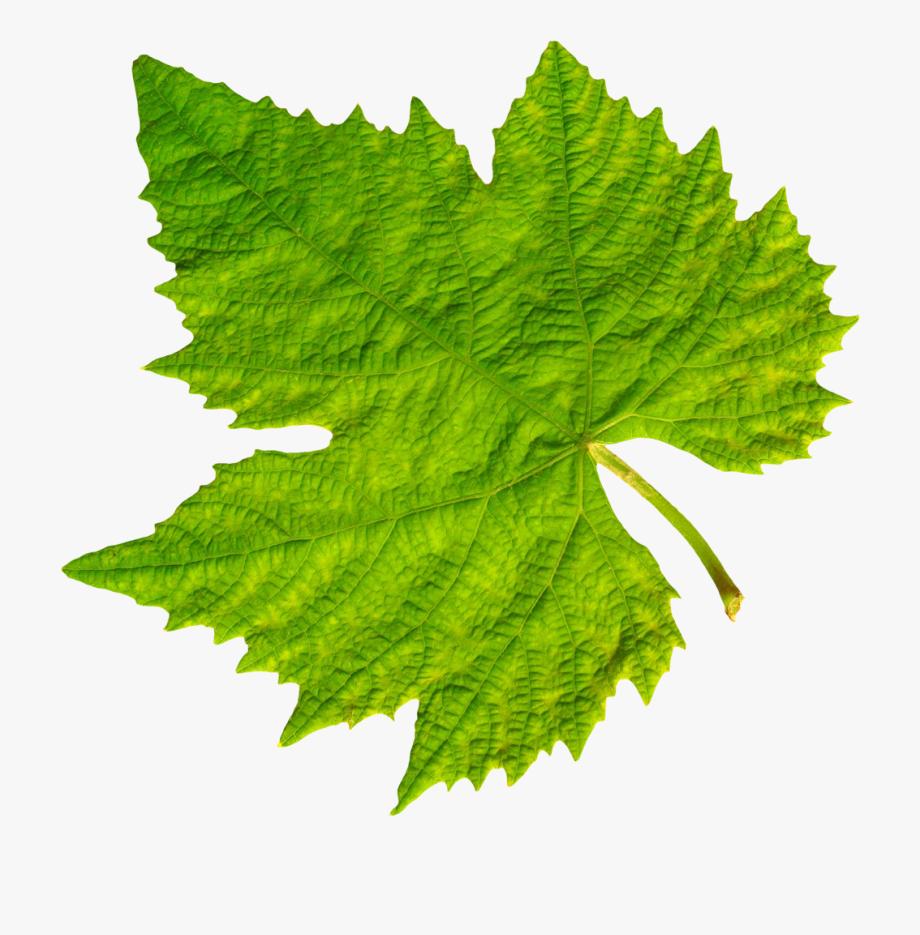Grapevine Clipart Grape Vineyard.