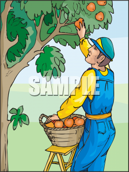 Fruit Clip Art Picture of a Man Picking Oranges in an Orange Grove.