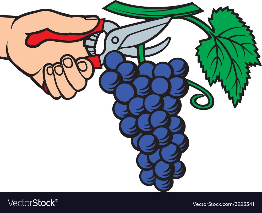 Man hands harvesting grapes.