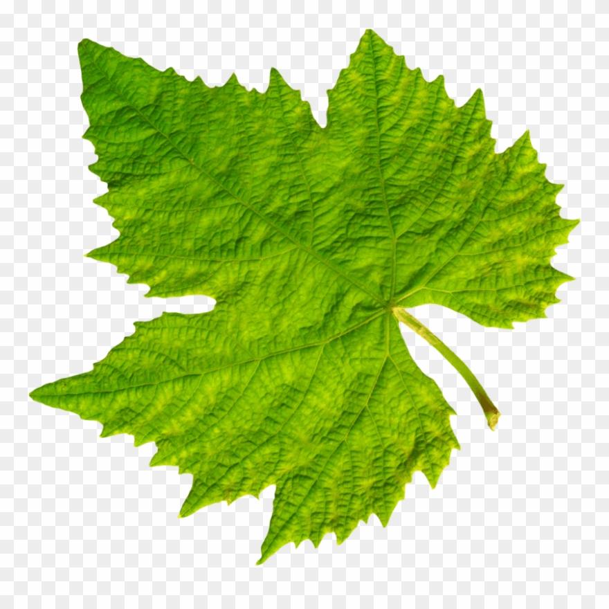 Download Grape Vine Leaf Png Images Background.