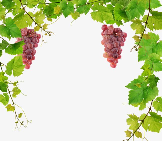 Grape Vine Png & Free Grape Vine.png Transparent Images #10327.