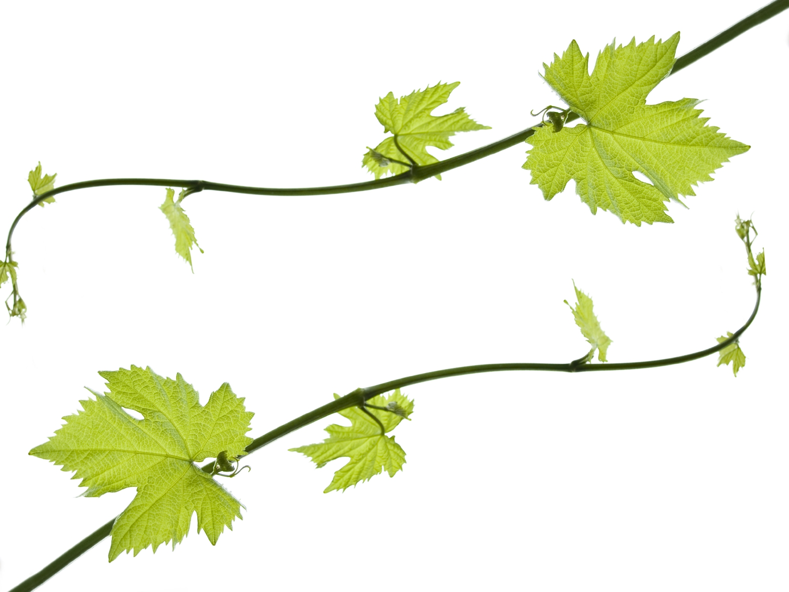 Grape Leaves Clipart#1999520.