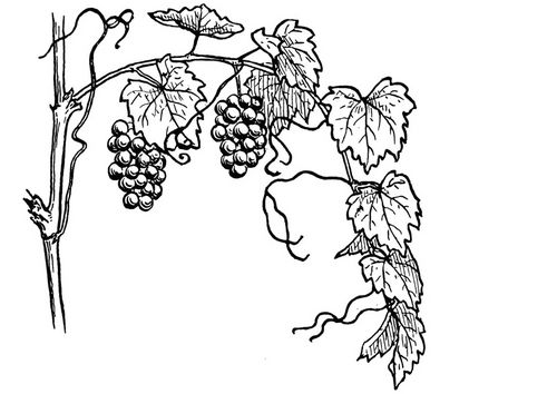34 best images about grapes graphic on Pinterest.